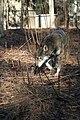 Captive Male at Sandy Ridge, ARNWR (6260487735).jpg