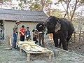 Captive elephants Assam fed AJTJ.JPG