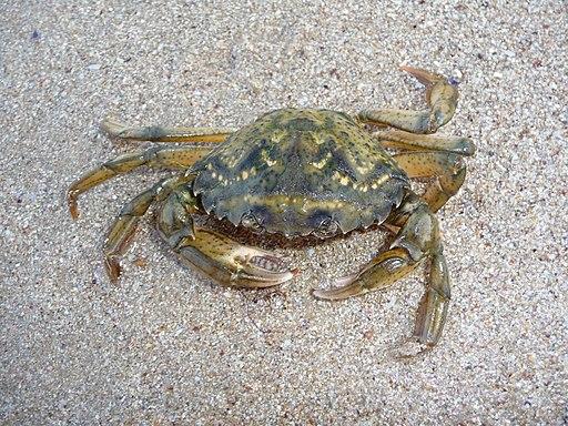 CCNN 2010: Recortable cangrejo de mar