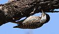 Cardinal Woodpecker - FEMALE.jpg