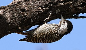 Cardinal Woodpecker - FEMALE.jpg