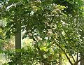 Carissa edulis HabitusFlowers BotGard0906a.jpg
