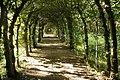 Carpinus betulus JPG1b.jpg