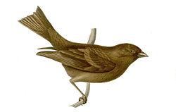 Carpodacus vinaceus female.jpg
