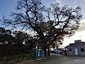Carvalho-roble situado no lugar da Carvalheira, Guimarei - 22.jpg