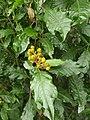 Caryophyllales - Pleuropetalum darwinii - 4.jpg