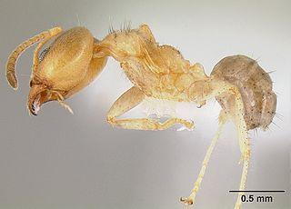<i>Philidris cordata</i> Species of ant