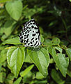 Castalius rosimon - Common Pierrot on the hostplant Ziziphus oenoplia - Jackal Jujube 22.JPG