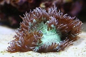 Catalaphyllia - Image: Catalaphyllia short