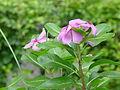 Catharanthus roseus - Kolkata 2004-07-13 01754.JPG