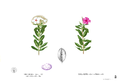 Catharanthus roseus Blanco1.42.png