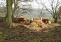Cattle, above Lodge Farm - geograph.org.uk - 315057.jpg
