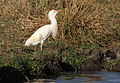 Cattle egret, Bubulcus ibis at Rietvlei Nature Reserve, South Africa (10159596326).jpg