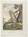 Cebus capucinus - 1700-1880 - Print - Iconographia Zoologica - Special Collections University of Amsterdam - UBA01 IZ20200160.tif