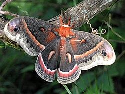 Une saturnie Cécropia mâle, dans les monts Ozarks, dans l'Arkansas