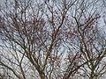 Celastrus orbiculatus 5501189.jpg