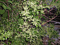 Celastrus orbiculatus 5501273.jpg