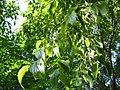 Celtis australis fruits.jpg