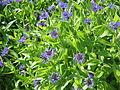 Centaurea montana clump.jpg