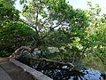 Centennial Park, Lake Watauga curved tree.JPG