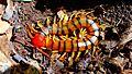 Centipede 02.jpg
