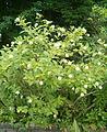 Cephalanthus occidentalis BotGardBln07122011B.jpg
