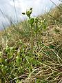 Cerastium semidecandrum sl6.jpg