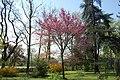 Cercis(Beicamina) - panoramio.jpg