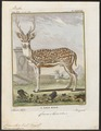 Cervus axis - 1700-1880 - Print - Iconographia Zoologica - Special Collections University of Amsterdam - UBA01 IZ21500326.tif