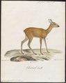 Cervus capreolus - 1818-1842 - Print - Iconographia Zoologica - Special Collections University of Amsterdam - UBA01 IZ21500013.tif