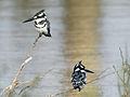 Ceryle rudis (male & female).jpg