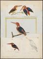 Ceyx tridactyla - - Print - Iconographia Zoologica - Special Collections University of Amsterdam - UBA01 IZ16800087.tif
