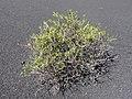 Chã das Caldeiras-Periploca laevigata subsp. chevalieri (2).jpg