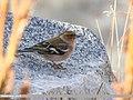 Chaffinch (Fringilla coelebs) (45336924795).jpg