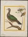 Chalcophaps javanensis - 1700-1880 - Print - Iconographia Zoologica - Special Collections University of Amsterdam - UBA01 IZ15600267.tif
