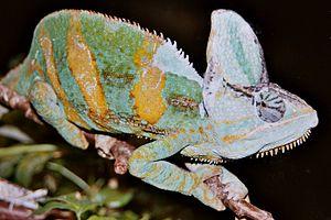 Chamaeleo - Chamaeleo calyptratus, veiled chameleon