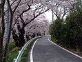 CherryTrees NiigataToyano2.jpg