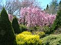 Cherry Blossoms in garden.jpg