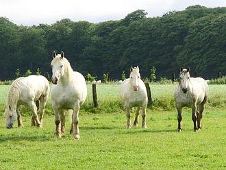 Boulonnais horse - Boulonnais horses at pasture in Le Titre, Somme, France