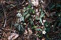 Chimaphila maculata01.jpg