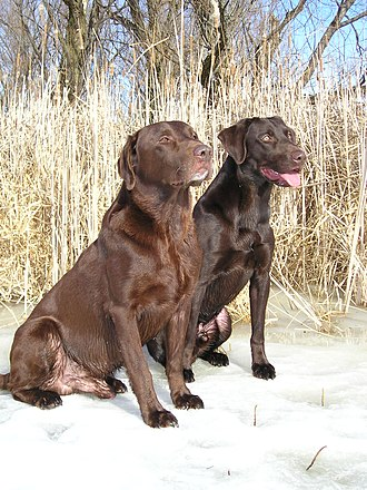 Coat (dog) - Image: Chocolate Labrador Retrievers pair