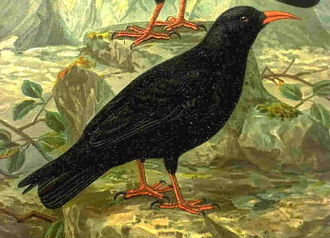 Cornish symbols - Cornish chough