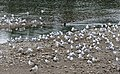 Chroicocephalus ridibundus - Black-headed Gull 20.jpg