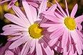 Chrysanthemum Cambodian Queen 2zz.jpg