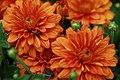 Chrysanthemum Hannah 1zz.jpg
