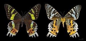 Chrysiridia rhipheus - Chrysiridia rhipheus Both sides - MHNT