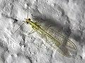 Chrysopidae Mexico2020p2.jpg