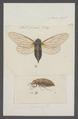Cicada - Print - Iconographia Zoologica - Special Collections University of Amsterdam - UBAINV0274 042 01 0021.tif