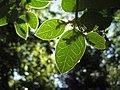 Citronella mucronata (R. et P.) D. Don (pabloendemico).jpg