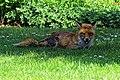 City of London Cemetery, Newham, London England - fox 18.jpg